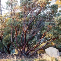 Beautiful Manzanita Plants